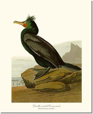 Bird Print: Cormorant, Double-crested