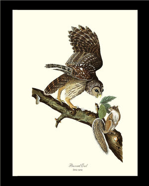 Audubon Barred Owl - Hoot Owl - Wall Art Print