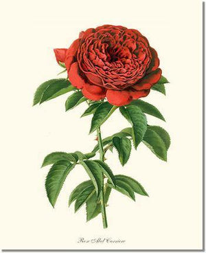 Rose Print: Abel Carriere
