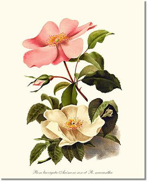 Cherokee Rose and Anemone Rose