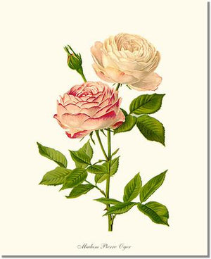 Rose Print: Madame Pierre Oger