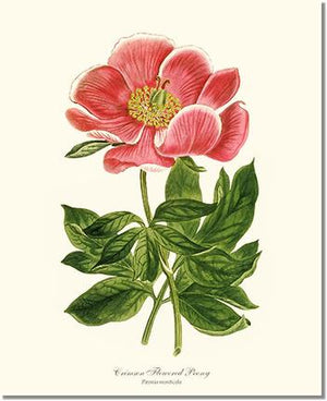 Flower Floral Print: Peony, Crimson Flowered