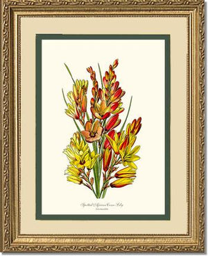 Flower Print: Spotted African Cornlily