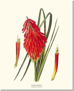 Flower Floral Print:  Flame Flower, Kniphofia