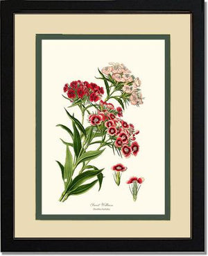 Flower Print: Sweet William