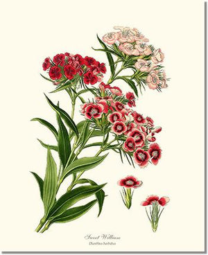 Flower Floral Print: Sweet William
