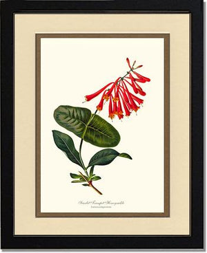 Flower Print: Honeysuckle, Scarlet Trumpet