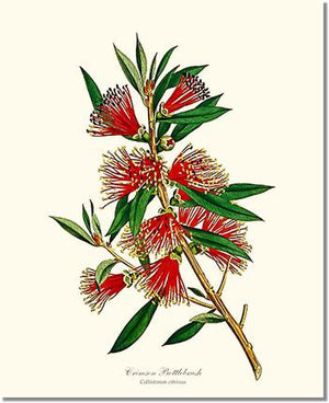 Flower Floral Print: Crimson Bottlebrush