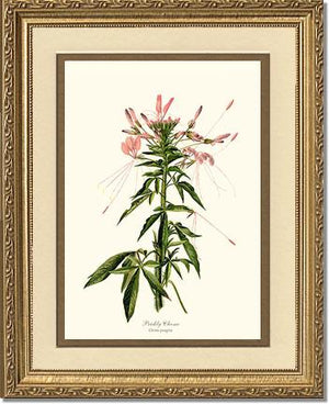 Cleome, Prickly
