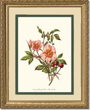 Rose Print: Dwarf Wild Rose