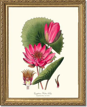 Flower Print: Water-Lily