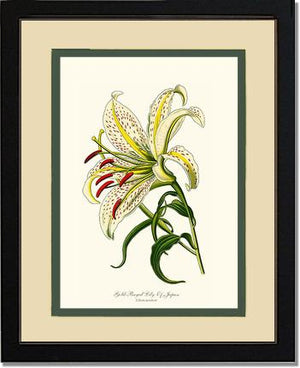 Lily, Gold-Rayed