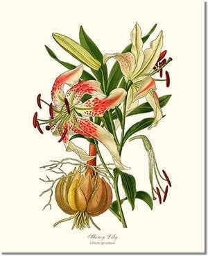 Flower Flora; Print: Lily, Showy