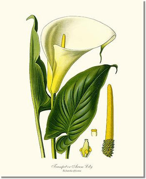 Flower Floral Print: Lily, Trumpet Calla