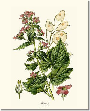 Flower Floral Print: Honesty Lunaria Money Plant