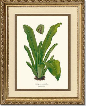 Bird's Nest Fern