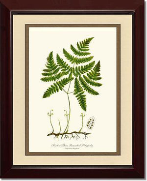 Tender Three Branched Polypody Fern