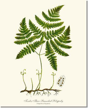 Fern Print: Tender Three Branched Polypody Fern