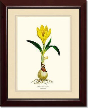 Amaryllis, Yellow