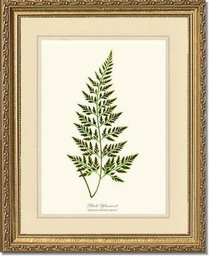 Black Spleenwort Fern