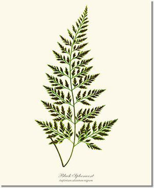 Fern Print: Black Spleenwort Fern