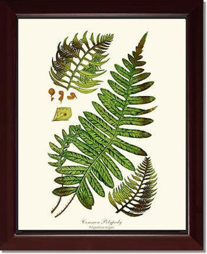 Common Polypody Fern