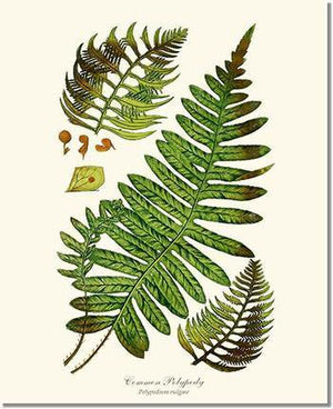 Fern Print: Common Polypody Fern