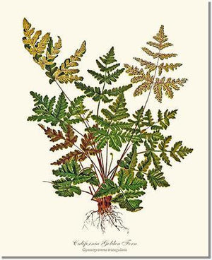 Fern Print: California Gold Fern