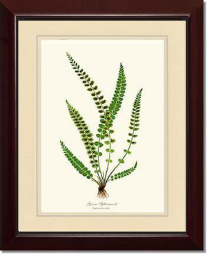 Green Spleenwort Fern