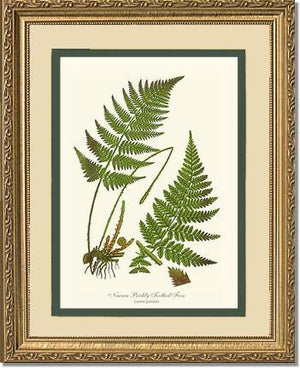 Narrow Prickly Toothed Fern