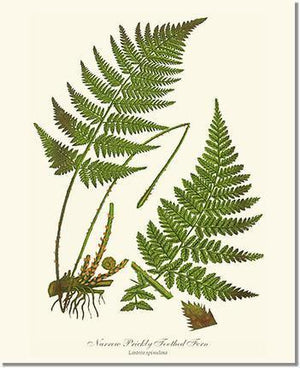 Fern Print: Narrow Prickly Toothed Fern
