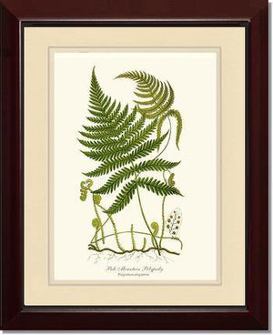 Pale Mountain Polypody Fern