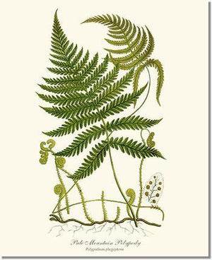 Fern Print: Pale Mountain Polypody Fern