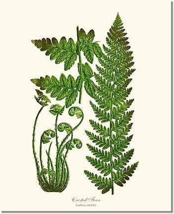 Crested Fern