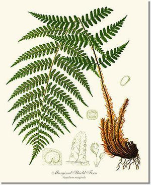 Fern Print: Marginal Shield Fern