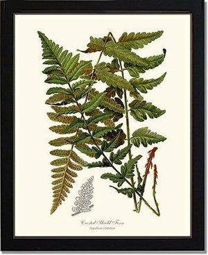 Crested Shield Fern