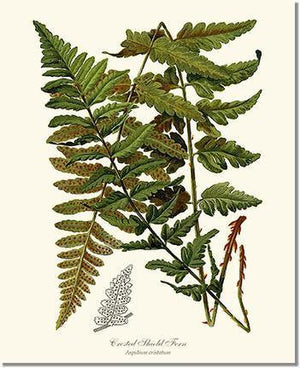 Fern Print: Crested Shield Fern