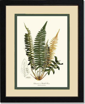 Chamisso  Shield Fern