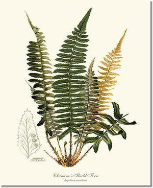 Fern Print: Chamisso  Shield Fern