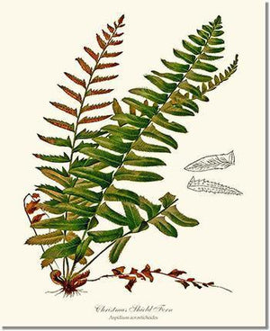 Fern Print: Christmas Shield Fern