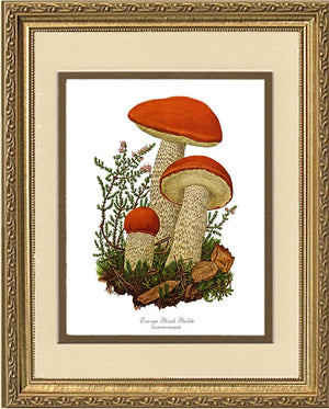 Orange Birch Bolete Mushroom