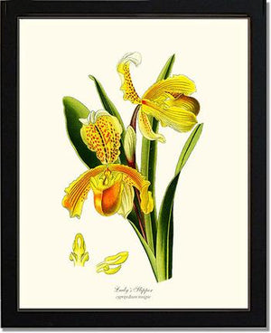 Lady's Slipper Cypripedium insigne