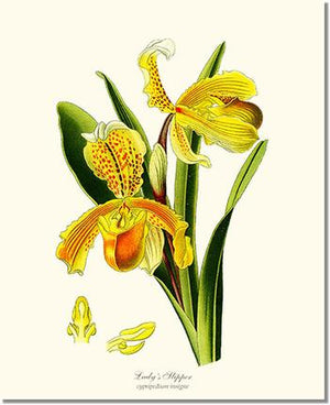 Orchid Print: Lady's Slipper Cypripedium insigne