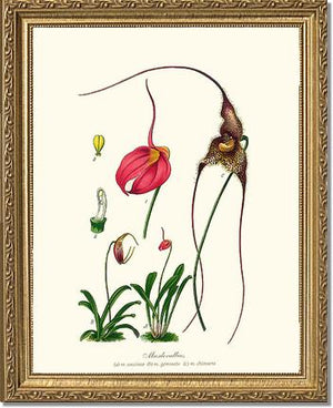 Masdevallias