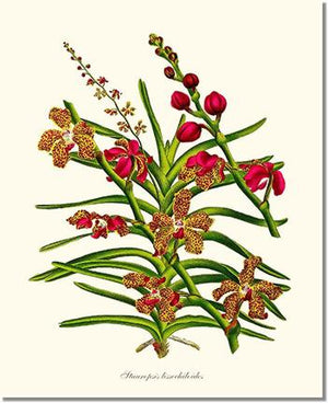 Orchid Print: Stauropsis lissochiloides