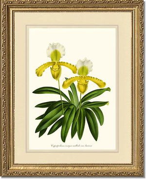 Cypripedium insigne