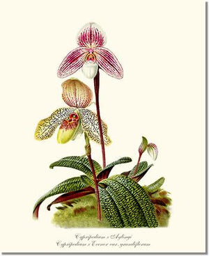 Orchid Print: Cypripedium aylingi evenor