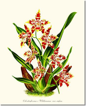 Orchid Print: Odontoglossum wilckeanum