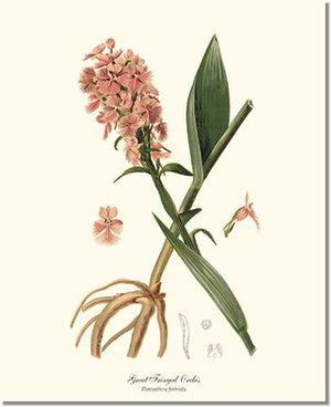 Orchid Print: Great Fringed Orchis