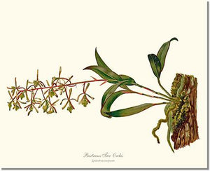 Orchid Print: Bartrams Tree Orchis